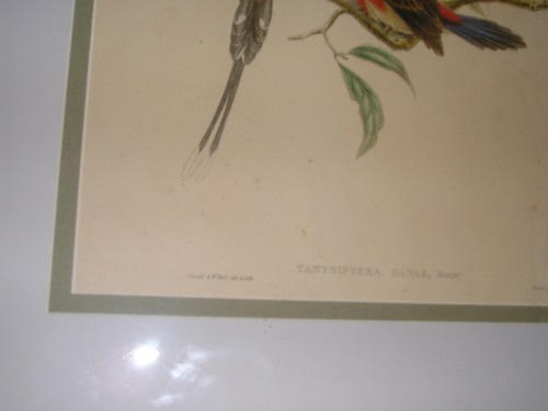 Antique Gould Hart Lithograph Tanysiptera Danae Sharpe Hand Tinted Lithograph Framed