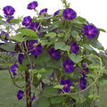 VINE * MORNING GLORY GRANDPA OTT'S * ORGANIC HEIRLOOM LIVE PLANT