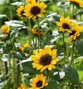 FLOWER ANNUAL * SUNFLOWER HELLA * ORGANIC HEIRLOOM SEEDS 2018