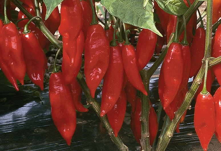 PEPPER, HOT * HOT PAPER LANTERN * ORGANIC HEIRLOOM SEEDS 2018
