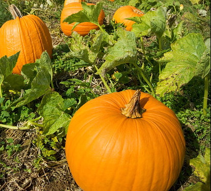PUMPKIN * HOWDEN * ORGANIC HEIRLOOM SEEDS 2018