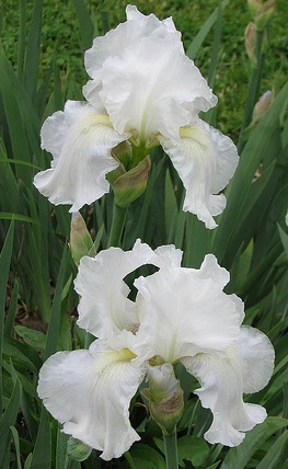 CherryGal Heirloom Bulbs * IRIS IMMORTALITY Re-blooming Organic