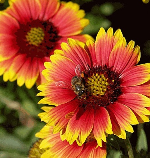 FLOWER ANNUAL * GAILLARDIA INDIAN BLANKET * ORGANIC HEIRLOOM SEEDS 2018