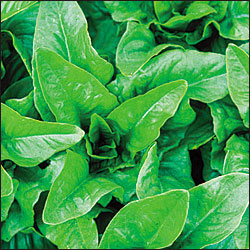 LETTUCE * AMISH DEER TONGUE * ORGANIC HEIRLOOM SEEDS 2021