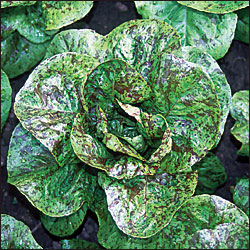 LETTUCE * FLASHY TROUTBACK * ORGANIC HEIRLOOM SEEDS 2018