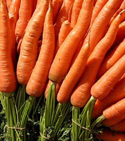 CARROT * LITTLE FINGERS * ORGANIC HEIRLOOM SEEDS 2018