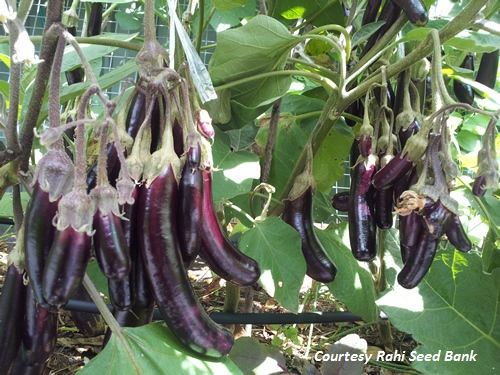 ASIAN * EGGPLANT LITTLE FINGERS * ORGANIC HEIRLOOM SEEDS 2018