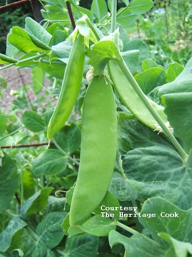 PEA, SNOW * MAMMOTH MELTING SUGAR * HEIRLOOM SEEDS 2018