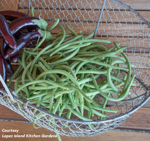 BEAN, BUSH * MAXIBEL HARICOT VERT * ORGANIC HEIRLOOM SEEDS 2018