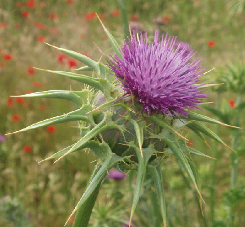 HERB * MILK THISTLE * ORGANIC HEIRLOOM SEEDS 2018