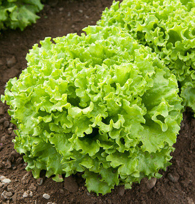 LETTUCE * MUIR * ORGANIC HEIRLOOM SEEDS 2018