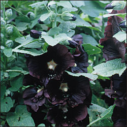 FLOWER BIENNIAL * HOLLYHOCK BLACK * ORGANIC HEIRLOOM SEEDS 2018