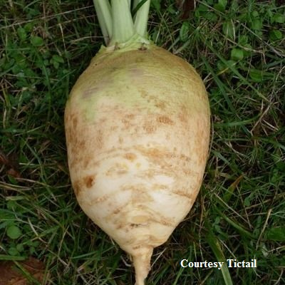 RUTABAGA * LITHUANIAN SWEDE * ORGANIC HEIRLOOM SEEDS 2018