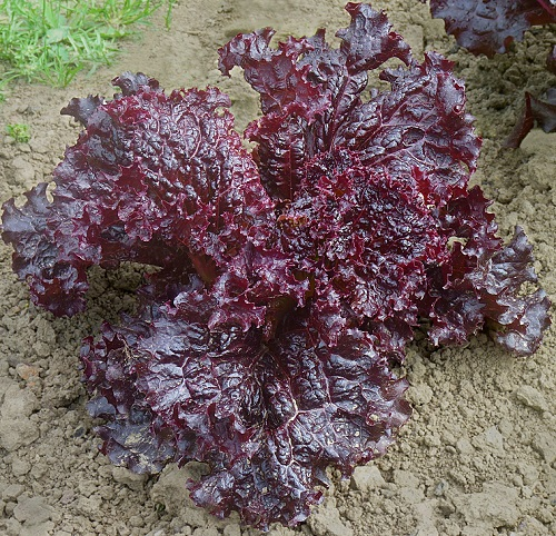 LETTUCE * NEW RED FIRE * ORGANIC HEIRLOOM SEEDS 2020