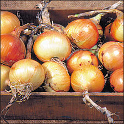 ONION * AILSA CRAIG EXHIBITION * ORGANIC HEIRLOOM SEEDS 2018