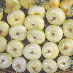ONION * BORETTANA CIPPOLINI * ORGANIC HEIRLOOM SEEDS 2018