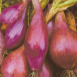 ONION * RED TORPEDO * ORGANIC HEIRLOOM SEEDS 2020
