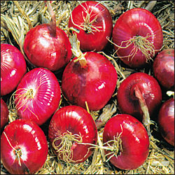 ONION * RED WETHERSFIELD * ORGANIC HEIRLOOM SEEDS 2018
