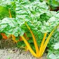 CHARD * ORIOLE ORANGE * ORGANIC HEIRLOOM SEEDS 2018