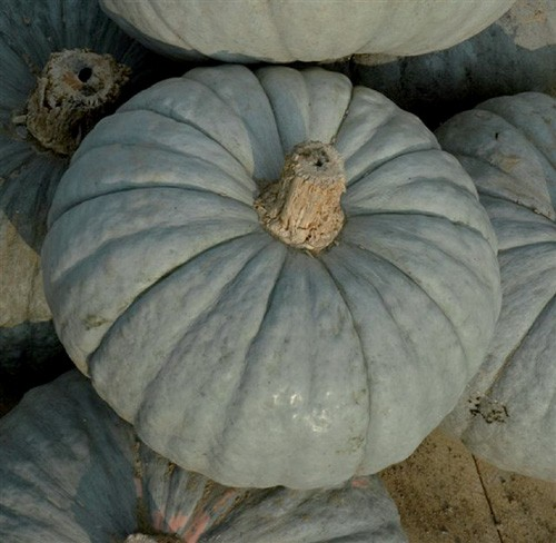 SQUASH * PIACENTINA * ORGANIC HEIRLOOM SEEDS 2020