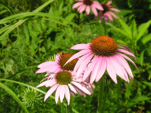 HERB * ECHINACEA PURPLE CONEFLOWER * ORGANIC HEIRLOOM SEEDS 2021