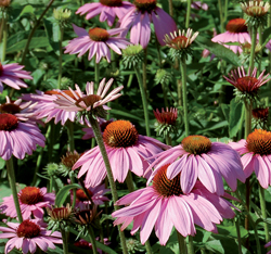 HERB  ECHINACEA PURPLE CONEFLOWER  ORGANIC HEIRLOOM SEEDS 2021