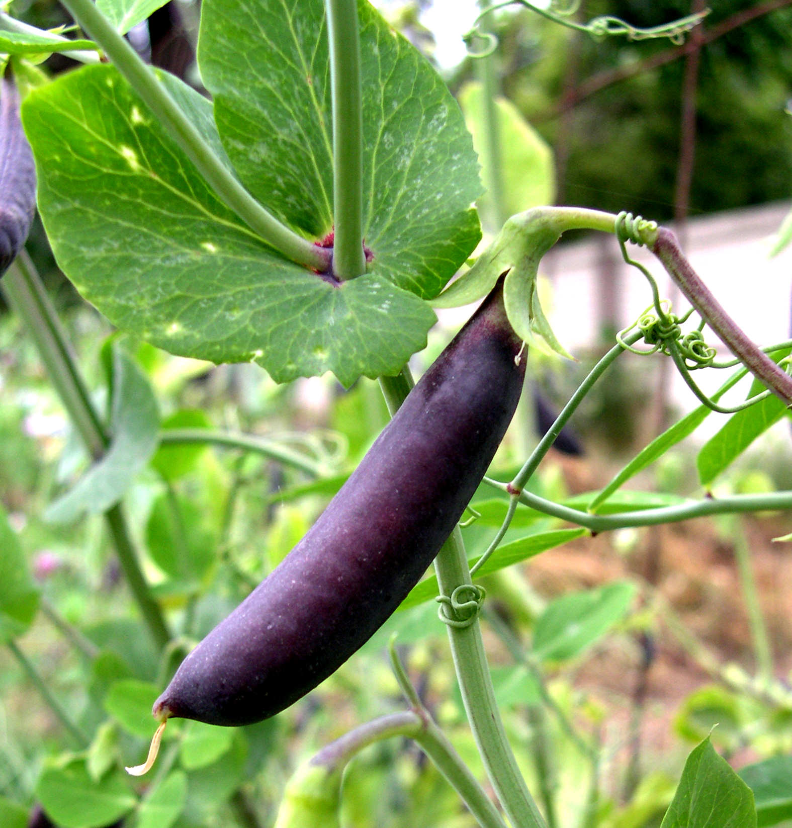 PEA, MULTI * PURPLE MIST * ORGANIC HEIRLOOM SEEDS 2017