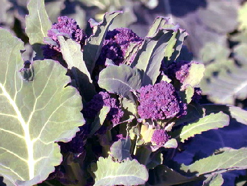 BROCCOLI * EARLY PURPLE SPROUTING * ORGANIC HEIRLOOM SEEDS 2020