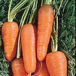 CARROT * RED CORE CHANTENAY * ORGANIC HEIRLOOM SEEDS 2017