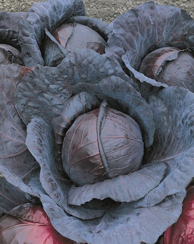 CABBAGE * RED EXPRESS * ORGANIC HEIRLOOM SEEDS 2018