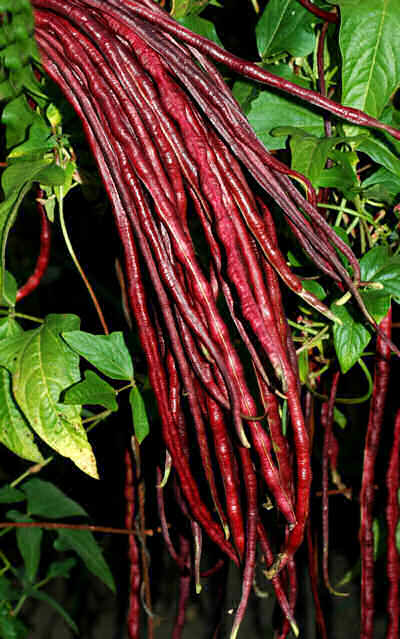 ASIAN * BEAN RED NOODLE * ORGANIC HEIRLOOM SEEDS 2017