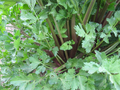 CELERY * RED STALK * ORGANIC HEIRLOOM SEEDS 2017