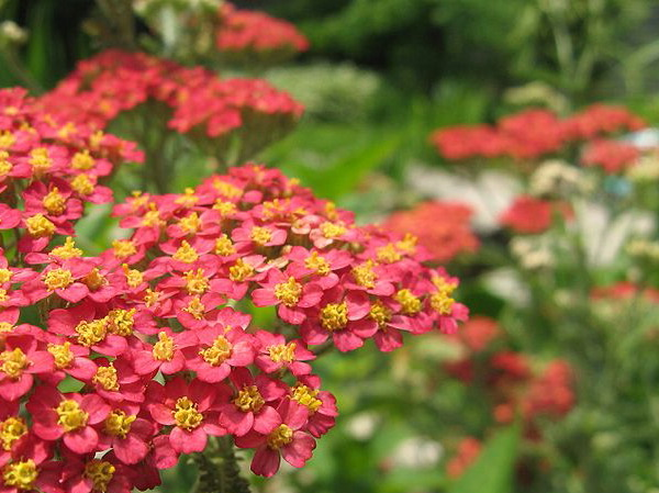 HERB * YARROW RED * ORGANIC HEIRLOOM SEEDS 2018