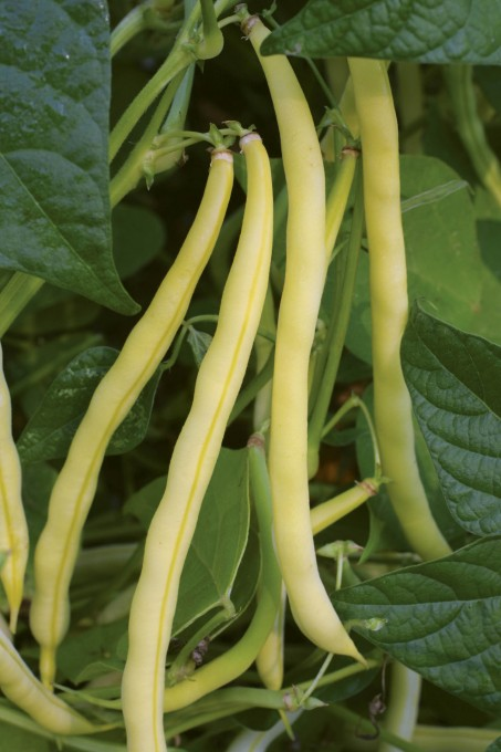 BEAN, BUSH * ROCDOR * ORGANIC HEIRLOOM SEEDS 2018