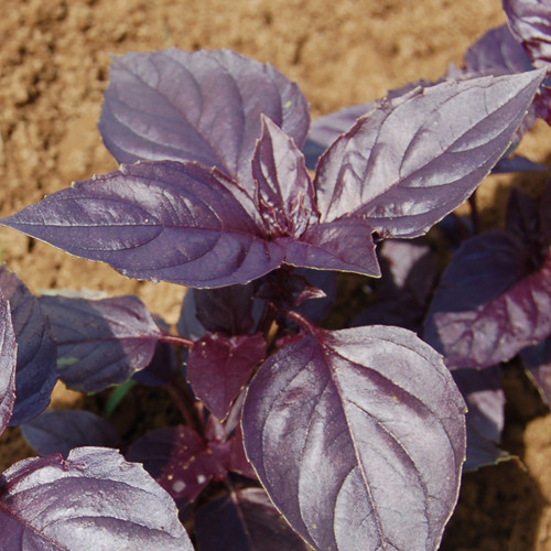 HERB * BASIL ROSIE * ORGANIC HEIRLOOM SEEDS 2020