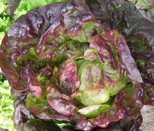 LETTUCE * ROXY * ORGANIC HEIRLOOM SEEDS 2017