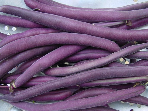 BEAN, BUSH * ROYAL BURGUNDY * ORGANIC HEIRLOOM SEED 2018