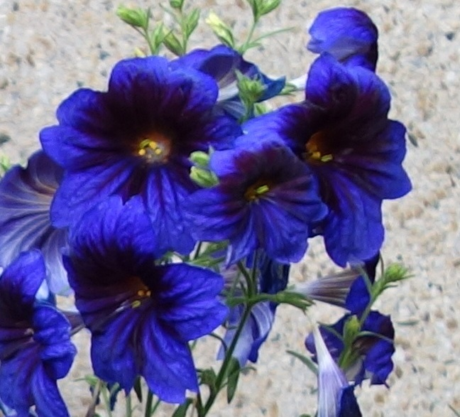 FLOWER ANNUAL * SALPIGLOSSIS KEW BLUE * ORGANIC HEIRLOOM SEEDS 2017