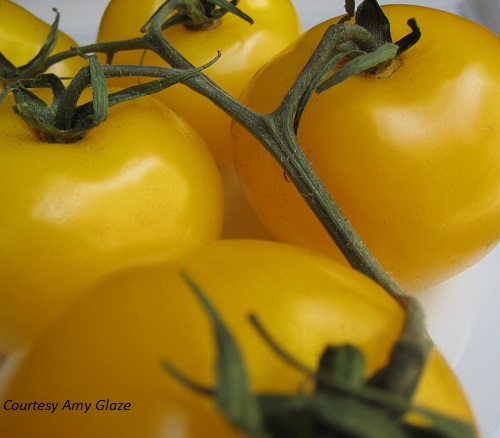 TOMATO * SCOTLAND YELLOW * ORGANIC HEIRLOOM SEEDS 2018