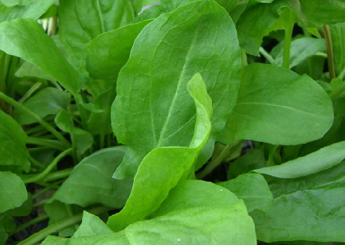 GREENS * SORREL * ORGANIC HEIRLOOM SEEDS 2018