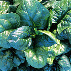 SPINACH * AMERICA * ORGANIC HEIRLOOM SEEDS 2017