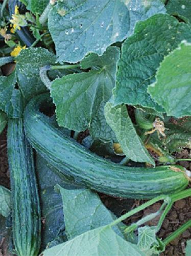 ASIAN  CUCUMBER SUYO LONG  ORGANIC HEIRLOOM SEEDS 2018