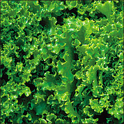 LETTUCE * TANGO * ORGANIC HEIRLOOM SEEDS 2018