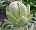 ARTICHOKE * TAVOR * ORGANIC HEIRLOOM SEEDS 2018