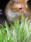 HERB * CAT GRASS VARIEGATED * ORGANIC HEIRLOOM SEEDS 2021