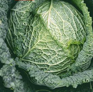 CABBAGE * SAVOY CHIEF * ORGANIC HEIRLOOM SEEDS 2017