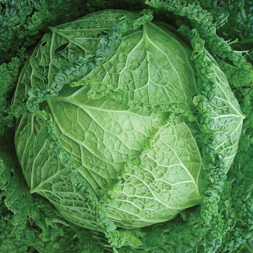 CABBAGE * VERTUS SAVOY * ORGANIC HEIRLOOM SEEDS 2017