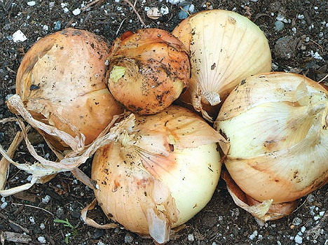 ONION * WALLA WALLA SWEET * ORGANIC HEIRLOOM SEEDS 2018