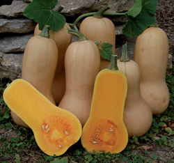 SQUASH * WALTHAM BUTTERNUT * ORGANIC HEIRLOOM SEEDS 2018