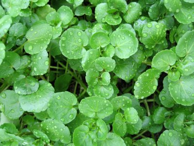 GREENS * WATERCRESS * ORGANIC HEIRLOOM SEEDS 2021